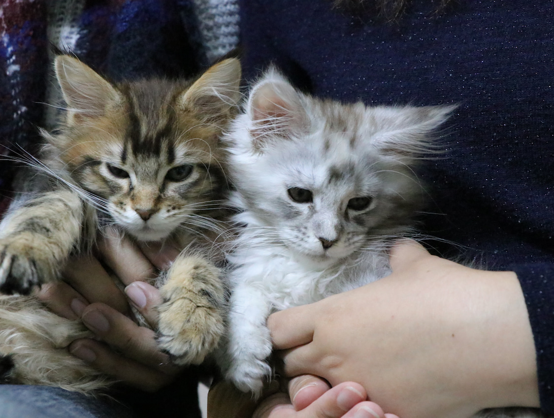 メインクーンの子猫、ジュピター君とヴィーナスちゃんが新しいお家へ!の記事より