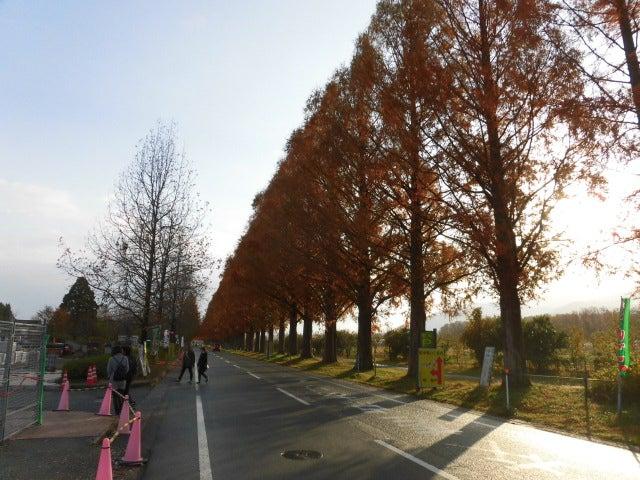 メタセコイア 並木 の 紅葉 マキノ 高原 の メタセコイア 並木 11 月 11 日