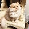 スコティッシュフォールド クリーム 折れ耳ロング オス 子猫ブリーダー販売 全国可 大阪の画像