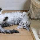 シルバーのメインクーンの子猫、ジェニーちゃんが楽しく遊んでいます!の記事より