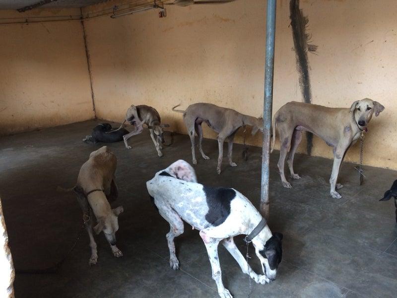 インド原産種の犬達   チェンナ...
