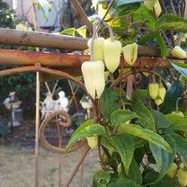 ドームベンチのクレマチス ーアンスンエンシスの開花ーの記事に添付されている画像