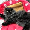 スコティッシュフォールド ブラックシルバー 折れ耳ロング オス 子猫ブリーダー販売 関西大阪の画像