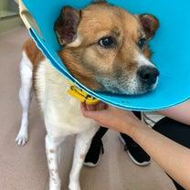 1/8 川口保健所から犬1頭の引取 ~すぐに手術でしたの記事に添付されている画像
