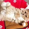 スコティッシュフォールド クリーム 立ち耳ロング オス 子猫ブリーダー販売 大阪の画像