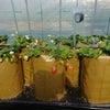 イチゴ栽培日記の画像