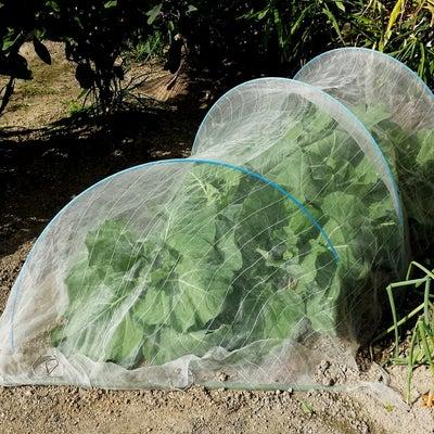 春キャベツ収穫&干し柿出来たの記事に添付されている画像