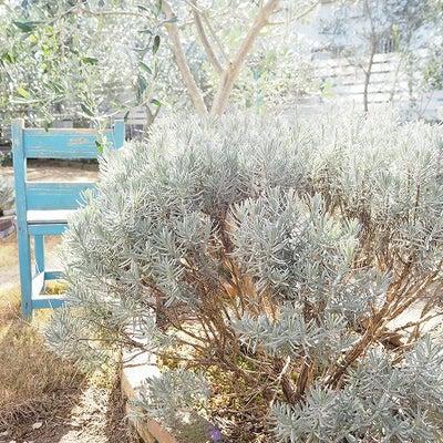 キラキラ光る1月の冬色ラベンダーの記事に添付されている画像