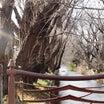 冬の玉川上水(2019年1月2日撮影)