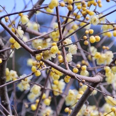 宝登山梅百花園・ロウバイ園の記事に添付されている画像