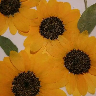 ひまわりの押し花が!色あせた時に・・・の記事に添付されている画像
