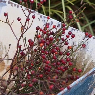 薔薇の誘引&絞りのビオラ♪の記事に添付されている画像