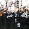 「花はただ咲く、ただひたすらに。」の画像