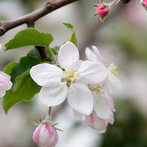 「りんごの花」の名前の由来の記事に添付されている画像