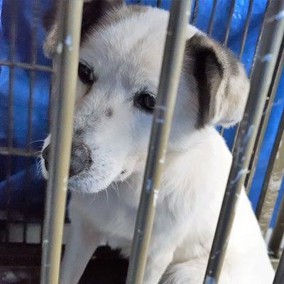 【迷子犬捜索】石岡市「さわ」ちゃん・白犬メス・耳茶色・怖がりの記事に添付されている画像