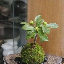 春を感じる新しい苔玉や盆栽の作品アップしました。の記事に添付されている画像