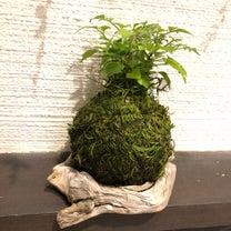 新芽が伸びてる♡苔玉ちゃんの記事に添付されている画像