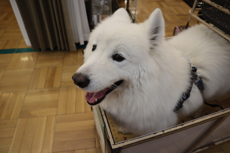 Image result for 犬 samoyed キス