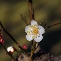 神代植物公園 ② 白い梅と蝋梅の記事に添付されている画像