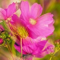 秋桜 〜 I liveの記事に添付されている画像