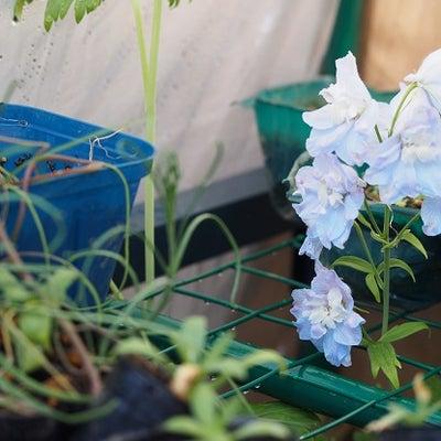 ヘリオフィラ&簡易温室の花たち♪の記事に添付されている画像