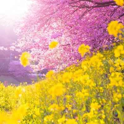 【一足早く春を満喫】おすすめの河津桜の記事に添付されている画像