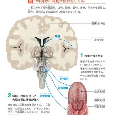 Ⅱ.神経系の構造と機能 特殊感覚を伝える神経の構造 味覚・嗅覚伝導路のしくみの記事に添付されている画像