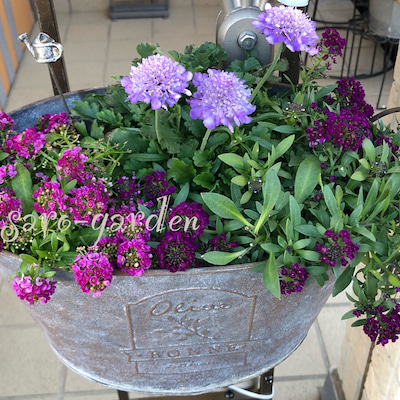 ブリキの鉢の寄せ植えの記事に添付されている画像