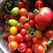 おうちごはん収穫トマトの記事に添付されている画像