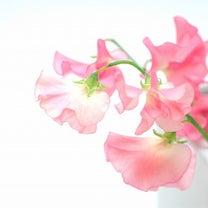 花屋さんにスイトピーがの記事に添付されている画像