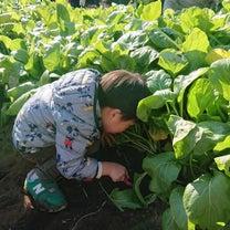 小松菜採りの記事に添付されている画像