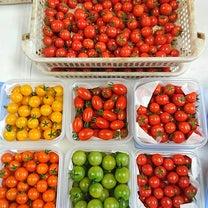 本日も、トマトの収穫日♪たっぷりたっぷり収穫できてます!の記事に添付されている画像