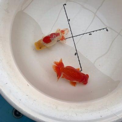 即売会での購入魚・山田芳人氏作の記事に添付されている画像