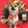 トリコロ'sシバ犬ワンコ!の画像