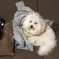 猛烈な眠気と戦ってる犬!ビションフリーゼの記事に添付されている画像