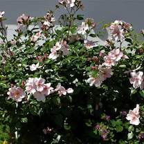 一重のバラは 葉っぱも大切の記事に添付されている画像