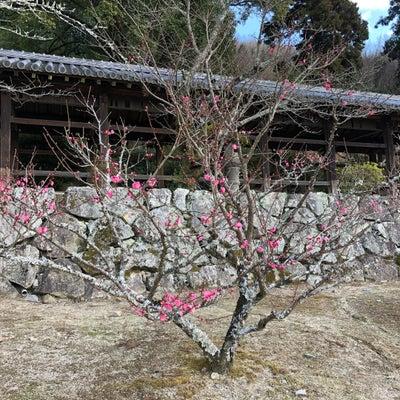 梅の花の記事に添付されている画像