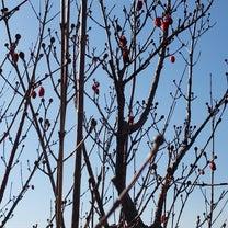 赤い実をつけた「サンシュユ」の木の記事に添付されている画像