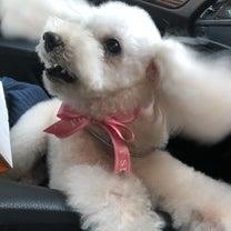 ペットのトリミング  ココちゃん可愛いなりました!の記事に添付されている画像