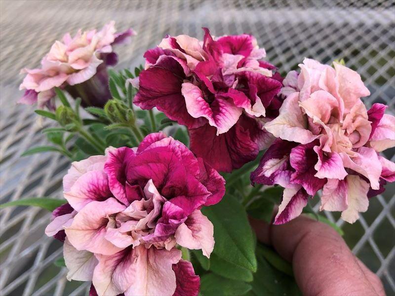 世界で一つの花を創るペチュニア花舞姫かぶき生産開始 育種