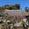 梅の花が徐々に開花しております!の画像