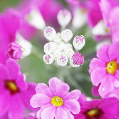 2月4日 誕生花と花言葉の記事に添付されている画像