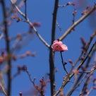 二月、梅が開花した!の記事より