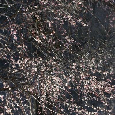 早咲きの梅 ~国営武蔵丘陵森林公園~の記事に添付されている画像