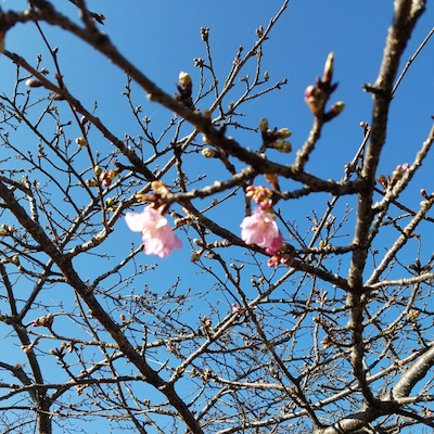美和桜の記事に添付されている画像