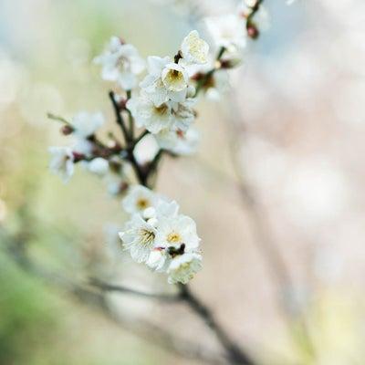 本日の花便り 2019年2月3日 赤坂の記事に添付されている画像