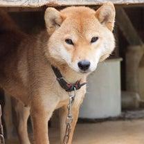 逃げてきた柴犬の記事に添付されている画像
