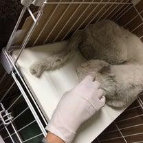 やせっぽちの保護猫、白ちゃんの記事に添付されている画像