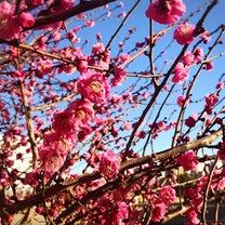 今年も一緒に梅の花をみました。の記事に添付されている画像