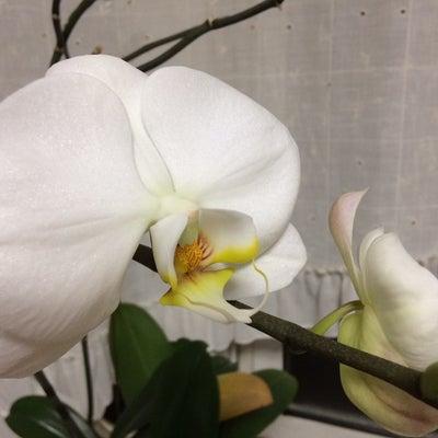 オープン時にいただいた胡蝶蘭がまた咲きました!の記事に添付されている画像